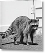 Bandit In Broad Daylight Metal Print