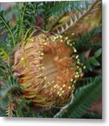 Banksia Nivea - 2 Metal Print
