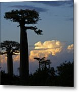 Baobabs And Storm Clouds Metal Print