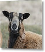 Barbados Blackbelly Sheep Portrait Metal Print