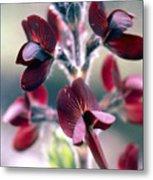 Barbed Thermopsis Or Black Pea Metal Print