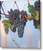 Barbera Grapes Ready For Harvest South Metal Print