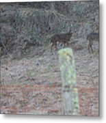 Barbwire And Whitetails Metal Print