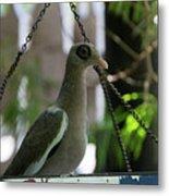 Bare Eyed Pigeon Metal Print