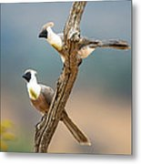 Bare-faced Go-away-birds Corythaixoides Metal Print