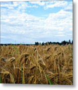 Barley And Sky In Oulu, Finland. Metal Print
