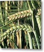 Barley, Green Stage Metal Print