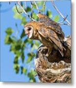 Barn Owl Owlet Climbs Out Of Nest Metal Print