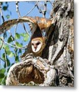 Barn Owl Owlet Stretches High Metal Print