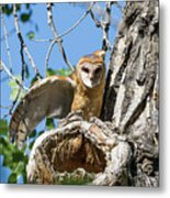 Barn Owl Owlet Stretches Metal Print