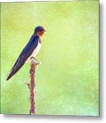 Barn Swallow, Hirundo Rustica Metal Print