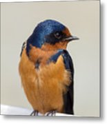 Barn Swallow Perched On A Fence Watching Metal Print