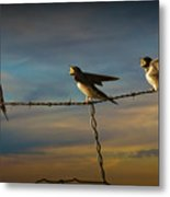 Barn Swallows On Barbwire Fence Metal Print