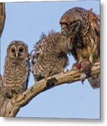 Barred Owl Family Metal Print