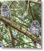 Barred Owl Fledglings Metal Print