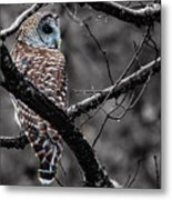 Barred Owl Hungry  Metal Print