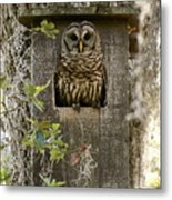 Barred Owl In Nest Box Metal Print