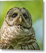 barred Owl Portrait Metal Print