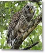 Barred Owl With A Snack Metal Print