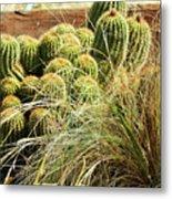 Barrel Cacti Metal Print