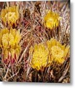 Barrel Cactus Flowers 2 Metal Print