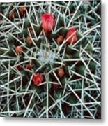 Barrel Cactus With Pink Blooms Metal Print