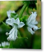 Basil Bloom Metal Print