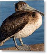 Basking Pelican Metal Print