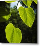 Basswood Leaves Against Dark Forest Background Metal Print