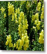 Batch Of Yellow Snapdragons Metal Print