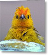 Bath Time Finch Metal Print