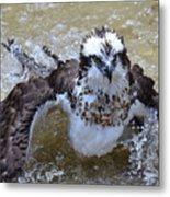 Bathing Osprey Bird Splashing About Metal Print