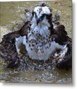 Bathing Osprey In Shallow Water Metal Print
