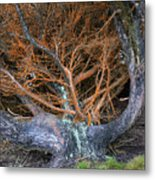 Battered Cypress With Orange Alga Metal Print