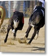 Battle Of The Racing Greyhounds At The Track Metal Print