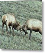 Battling Elk Metal Print