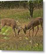 Battling Whitetails 0102 Metal Print by Michael Peychich