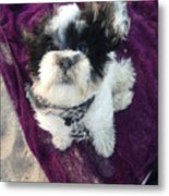 Baxter Boo Goes To The Beach Metal Print