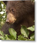 Bear Cub In Apple Tree1 Metal Print