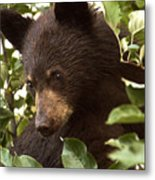 Bear Cub In Apple Tree2 Metal Print