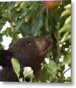 Bear Cub In Apple Tree4 Metal Print