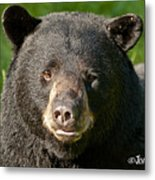 Bear Face Metal Print