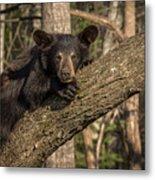 Bear In Tree Metal Print