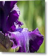 Bearded Iris Metal Print
