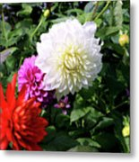 Beautiful And Fresh Dahlias In The Butchrt  Gardens,vancouver Island 1. Metal Print