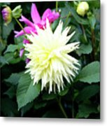 Beautiful And Fresh Dahlias In The Butchrt  Gardens,vancouver Island 2. Metal Print