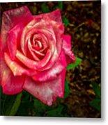 Beautiful Bicolor Rose Metal Print