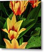 Beautiful Bicolor Tulips Metal Print