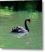 Beautiful Black Swan  Metal Print