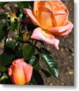 Beautiful Bloom Of The Rose Atlantic Star Metal Print